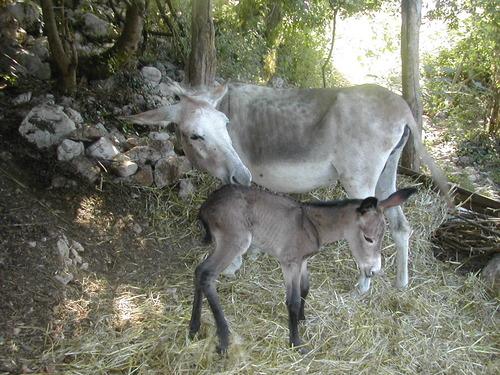 La ciucciopolitana del cilento, le ciucciovie dei sentieri trekking Cilentani di Angelo Avagliano il cilentano (2)