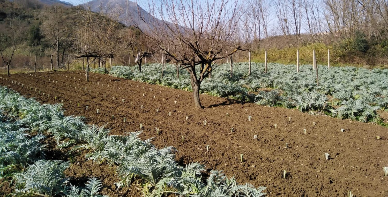 Carciofi bianchi di Pertosa_Presidio Slow Food del Cilento