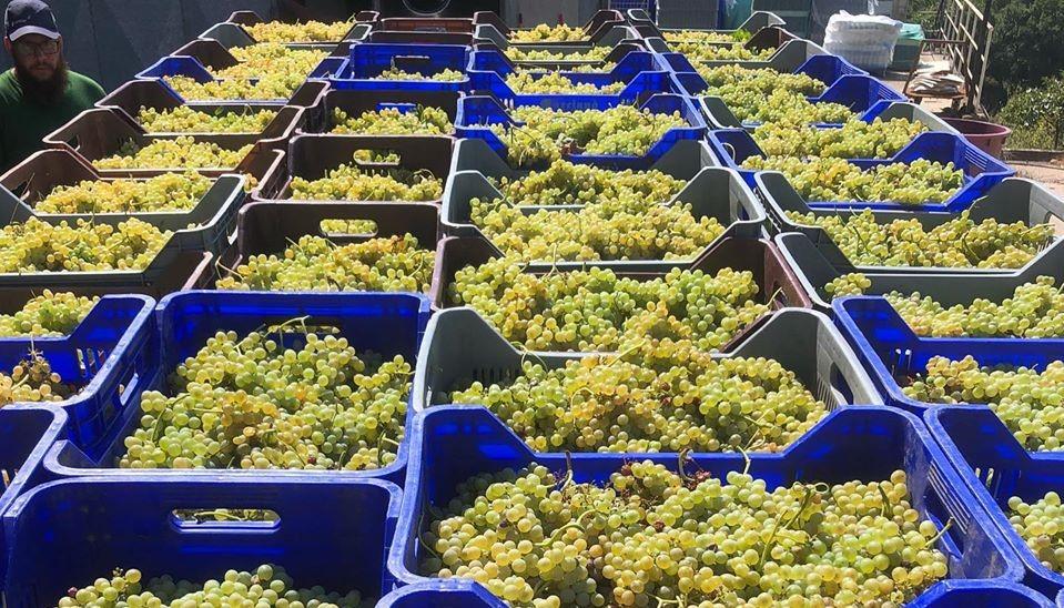 Prodotti tipici del Cilento vino fiano Uva fattoria albamarina