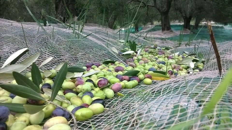 Olio del Cilento Olive