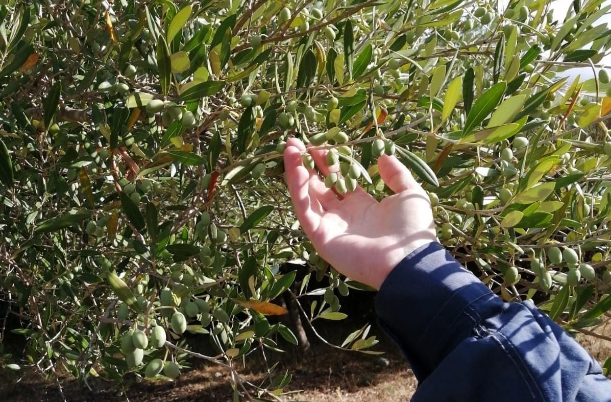 olio del cilento olive cilentane