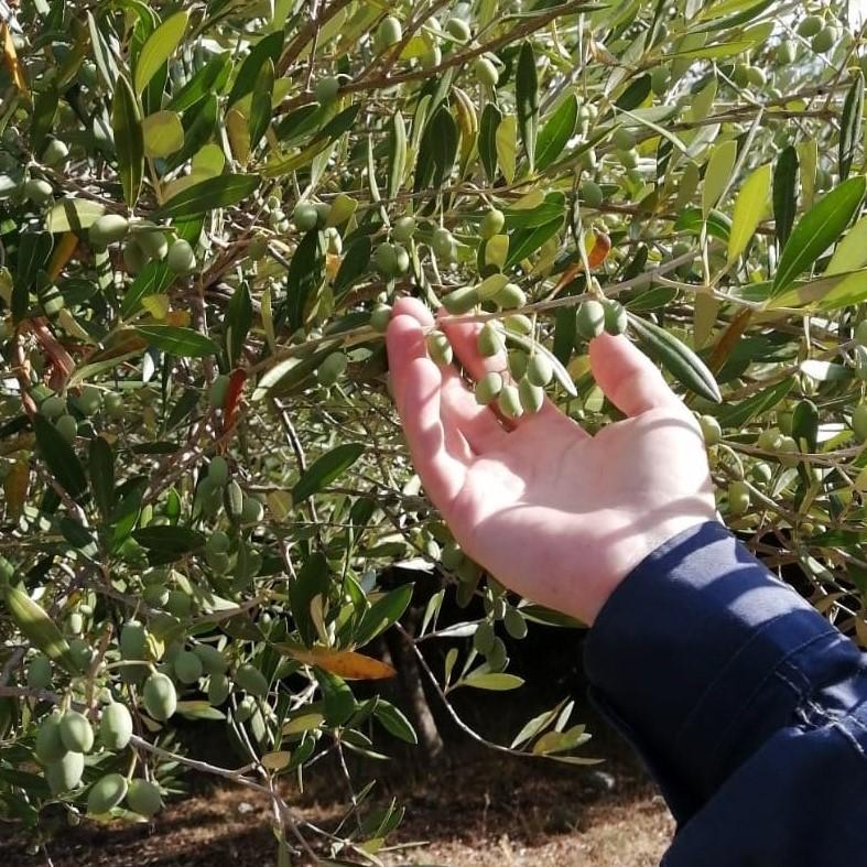 olio-del-cilento-olive-cilentane
